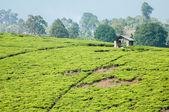 Tea Plantation and Hut — Stock Photo