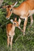 Baby impala and mother — Stock Photo