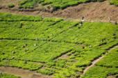 Pracowników zbierania herbaty — Zdjęcie stockowe