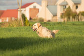Golden Retriever Sprinting — Stock fotografie