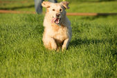 Golden Retriever Dashing Off — Stock fotografie