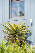 Aloe Plant in front of home — Stock Photo