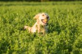 Golden Retriever in the Fields with Ball — Stock Photo