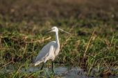 Egret by the Water — Stock Photo