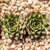 Two Succulent Plants — Stock Photo