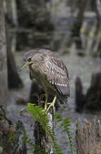 Black-Crowned Night Heron, Juvenile — Stok fotoğraf