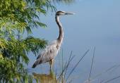 Great Blue Heron wading — Stock Photo