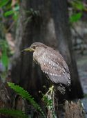 Black-crowned night heron, juvenile — 图库照片
