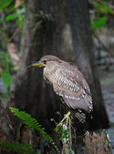 Black-crowned night heron, juvenile — Foto Stock