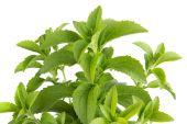 Stevia herb — Stock Photo