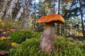 Orange birch bolete mushroom — Stock Photo