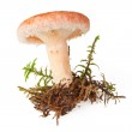 Edible woolly milkcap mushroom — Stock Photo #71734665
