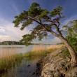 Pine tree growing in beach rock — Stock Photo #71734681