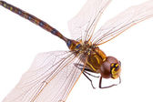 Dragonfly closeup, isolated on white — Stock Photo