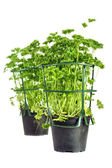 Parsley pots from market — Stock Photo