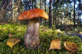 Bolete mushroom in forest — Stock Photo