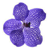 Single blue violet orchid on white background — Stock Photo