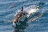 Connon Dolphin — Stock Photo