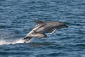 Bottlenose Dolphin & Calf — Stock Photo