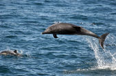 Wild Bottlenose Dolphin — Stock Photo