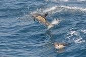 Wild Common Dolphin — Stock Photo