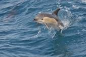 Wild Common Dolphin — Stock Photo