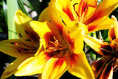 Close up of blooming orange lilies — Stock Photo