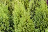 Cheristmas Trees — Stock Photo