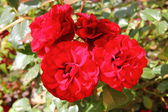 The red rose in the garden — Stock Photo