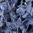 The frozen dry leaves of raspberry covered with hoarfrost — Stock Photo #58022287