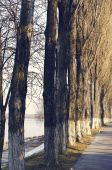 The poplar avenue along the river — Stock Photo