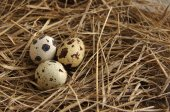 Quail eggs in a nest from a dry grass — Stock Photo