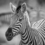 A herd of Zebra in Namibia — Stock Photo #56741923