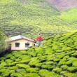 Постер, плакат: House in the middle of Green Tea Plantations at Cameroon Highlands in Malaysia