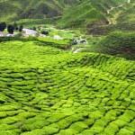 Постер, плакат: Green Tea Plantations at Cameroon Highlands in Malaysia