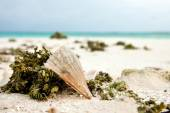 Shell, sea urchin and sea weed closeup at white sandy beach along with turquoise sea water — Stock Photo