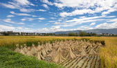 Cropped rice on a field partly covered with uncut rice of bright yellow color — Stock Photo