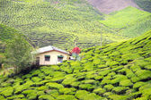 House in the middle of Green Tea Plantations at Cameroon Highlands in Malaysia — Stock Photo
