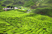 Green Tea Plantations at Cameroon Highlands in Malaysia — Stock Photo