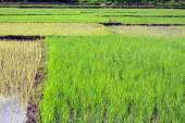 Young Rice growing on a rice field — Stock Photo