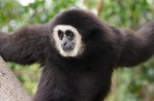 Silver Gibbon Closeup — Stockfoto