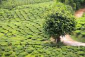 Single lush green tree at the tea plantation - blurred backgroun — Stock Photo