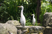 Cattle egret closeup in the park — Stock Photo