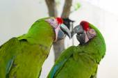 Two Great green macaw parrots — Stock Photo