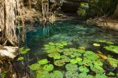 X-Batun Cenote - turquoise fresh water with water lilies and roc — Stock Photo