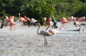 Pink flamingoes in their natural habitat — Stock Photo