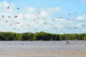 Flying pink flamingo above lagoon and mangrove forest — Stock Photo
