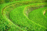 Closeup of rice terrace covered with green ripen rice stacks — Stock Photo