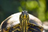 The red-eared slider turtle closeup — Stock Photo
