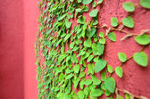 Closeup of Red wall partly covered with green plant with small — Stock Photo